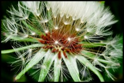 Dandelion at 1x